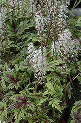 Sugar And Spice Foamflower (Tiarella 'Sugar And Spice') at North Branch Nursery