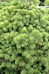 Little Gem Spruce (Picea abies 'Little Gem') at North Branch Nursery