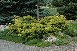 Old Gold Juniper (Juniperus x media 'Old Gold') at North Branch Nursery