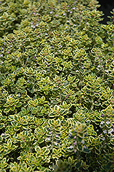 Lemon Thyme (Thymus x citriodorus) at North Branch Nursery