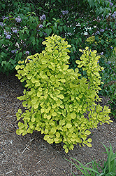 Golden Spirit Smokebush (Cotinus coggygria 'Golden Spirit') at North Branch Nursery