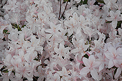 White Lights Deciduous Azalea (Rhododendron 'White Lights') at North Branch Nursery
