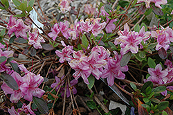 Compact Korean Azalea (Rhododendron yedoense 'Poukhanense Compacta') at North Branch Nursery