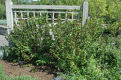 Common Sweetshrub (Calycanthus floridus) at North Branch Nursery