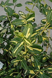 Blondy® Wintercreeper (Euonymus fortunei 'Interbolwi') at North Branch Nursery