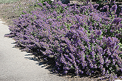Walker's Low Catmint (Nepeta x faassenii 'Walker's Low') at North Branch Nursery