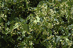 Greenspire Linden (Tilia cordata 'Greenspire') at North Branch Nursery
