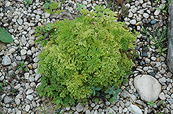 Dwarf Goatsbeard (Aruncus aethusifolius) at North Branch Nursery