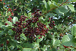 Chokecherry (Prunus virginiana) at North Branch Nursery