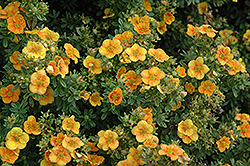 Mango Tango Potentilla (Potentilla fruticosa 'Mango Tango') at North Branch Nursery
