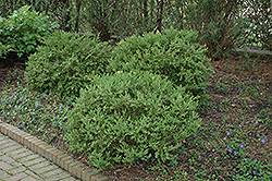 Wintergreen Boxwood (Buxus microphylla 'Wintergreen') at North Branch Nursery