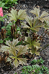 Bronzeleaf Rodgersia (Rodgersia podophylla 'Bronze Form') at North Branch Nursery