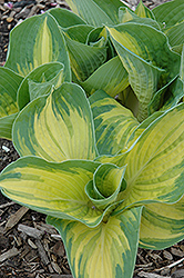 Great Expectations Hosta (Hosta 'Great Expectations') at North Branch Nursery