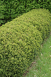 Green Gem Boxwood (Buxus 'Green Gem') at North Branch Nursery