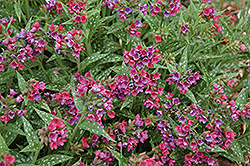 Raspberry Splash Lungwort (Pulmonaria 'Raspberry Splash') at North Branch Nursery