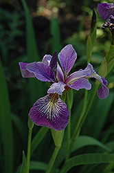 Blue Flag Iris (Iris versicolor) at North Branch Nursery