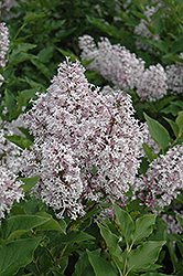 Miss Kim Lilac (Syringa patula 'Miss Kim') at North Branch Nursery