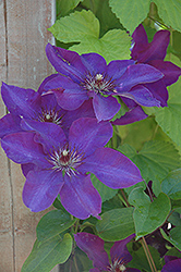 The President Clematis (Clematis 'The President') at North Branch Nursery