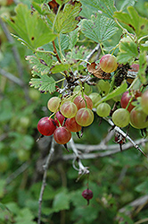 Pixwell Gooseberry (Ribes 'Pixwell') at North Branch Nursery