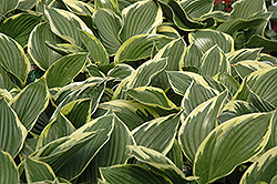 Golden Variegated Hosta (Hosta fortunei 'Aureomarginata') at North Branch Nursery