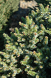 Pimoko Spruce (Picea omorika 'Pimoko') at North Branch Nursery