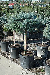 Globe Blue Spruce (tree form) (Picea pungens 'Globosa (tree form)') at North Branch Nursery
