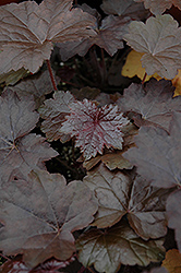 Blackout Coral Bells (Heuchera 'Blackout') at North Branch Nursery