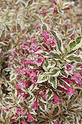 My Monet® Weigela (Weigela florida 'Verweig') at North Branch Nursery