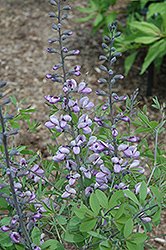 Purple Smoke False Indigo (Baptisia 'Purple Smoke') at North Branch Nursery