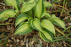 Rainbow's End Hosta (Hosta 'Rainbow's End') at North Branch Nursery