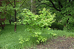 Vine Maple (Acer circinatum) at North Branch Nursery