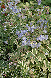Touch Of Class Jacob's Ladder (Polemonium reptans 'Touch Of Class') at North Branch Nursery