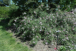 Hers Manchurian Lilac (Syringa pubescens 'Hers') at North Branch Nursery