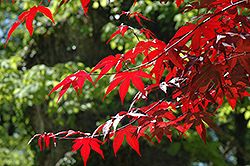 Emperor I Japanese Maple (Acer palmatum 'Wolff') at North Branch Nursery