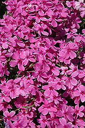 Red Wings Creeping Phlox (Phlox subulata 'Red Wings') at North Branch Nursery
