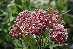 Cinderella Milkweed (Asclepias incarnata 'Cinderella') at North Branch Nursery