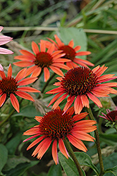 Big Sky Sundown Coneflower (Echinacea 'Big Sky Sundown') at North Branch Nursery