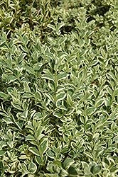 Variegated Boxwood (Buxus sempervirens 'Elegantissima') at North Branch Nursery