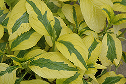 Lemon Wave Hydrangea (Hydrangea macrophylla 'Lemon Wave') at North Branch Nursery