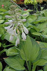 Paradigm Hosta (Hosta 'Paradigm') at North Branch Nursery