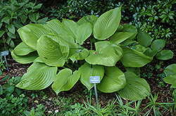 Sum and Substance Hosta (Hosta 'Sum and Substance') at North Branch Nursery