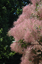 Grace Smoketree (Cotinus 'Grace') at North Branch Nursery