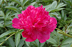 Felix Crousse Peony (Paeonia 'Felix Crousse') at North Branch Nursery