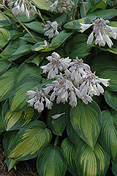 June Hosta (Hosta 'June') at North Branch Nursery