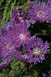 Elf Aster (Stokesia laevis 'Elf') at North Branch Nursery