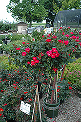 Knock Out® Rose Tree (Rosa 'Radrazz') at North Branch Nursery