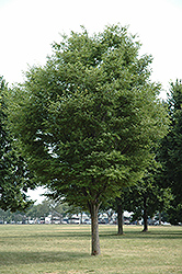 Dynasty Elm (Ulmus parvifolia 'Dynasty') at North Branch Nursery