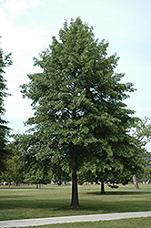 Pin Oak (Quercus palustris) at North Branch Nursery