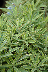 Ascot Rainbow Variegated Spurge (Euphorbia 'Ascot Rainbow') at North Branch Nursery