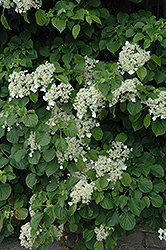 Climbing Hydrangea (Hydrangea anomala 'var. petiolaris') at North Branch Nursery